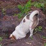 Собака лезет в нору