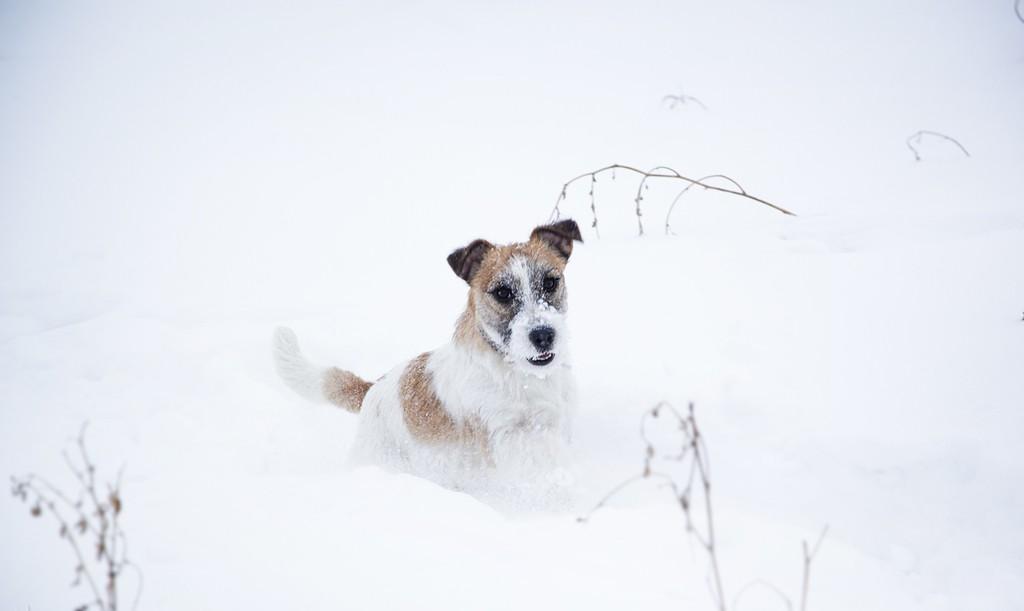 Терьер вязнет в снегу
