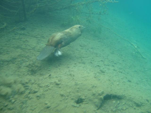 Бобр под водой