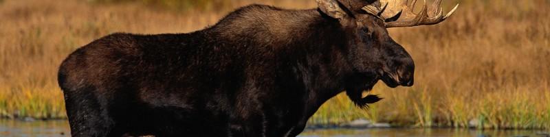 «Охота на лося в Украине» — смотреть видео онлайн