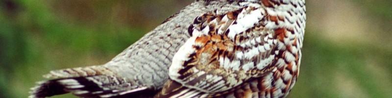 Охота на рябчика с манком в Томской области смотреть видео онлайн