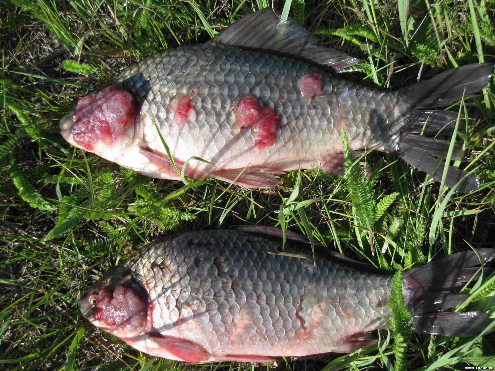 Какими заболеваниями болеет речная рыба и насколько они опасны для человека
