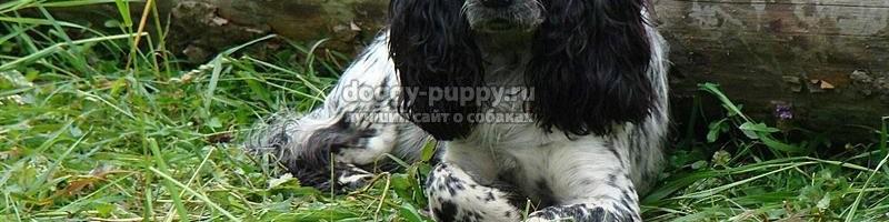 Русский охотничий спаниель – описание породы, охотничьи качества, выбор щенка
