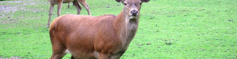 Королевская охота на марала – как и где можно добыть трофейные рога и получить настоящее удовольствие