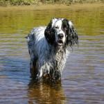 Сеттеры – универсальные охотничьи собаки с джентельменским благородством