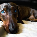 Маленькие охотничьи собаки — таксы: история породы, интересные факты