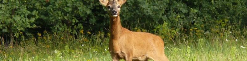 Охота на самца косули – как правильно подготовиться