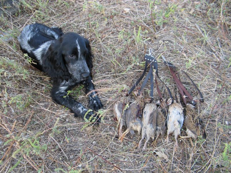 Охота на куропатку с русским охотничьим спаниелем  смотреть видео онлайн