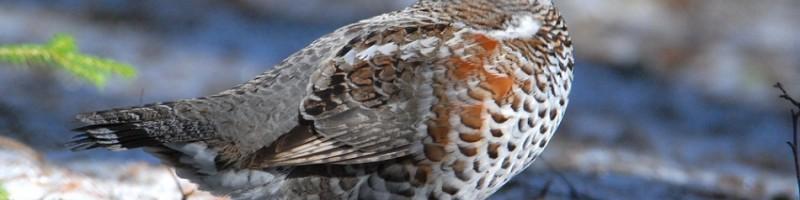 Охота на рябчика зимой смотреть видео онлайн