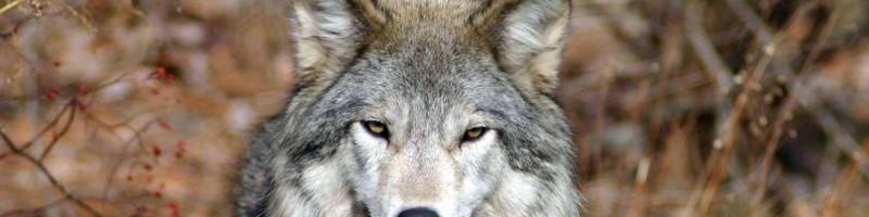 Основные способы охоты на волка