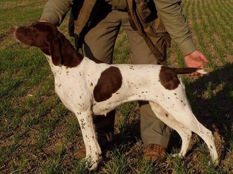 Дратхаар — Немецкая жесткошерстная легавая (описание породы)