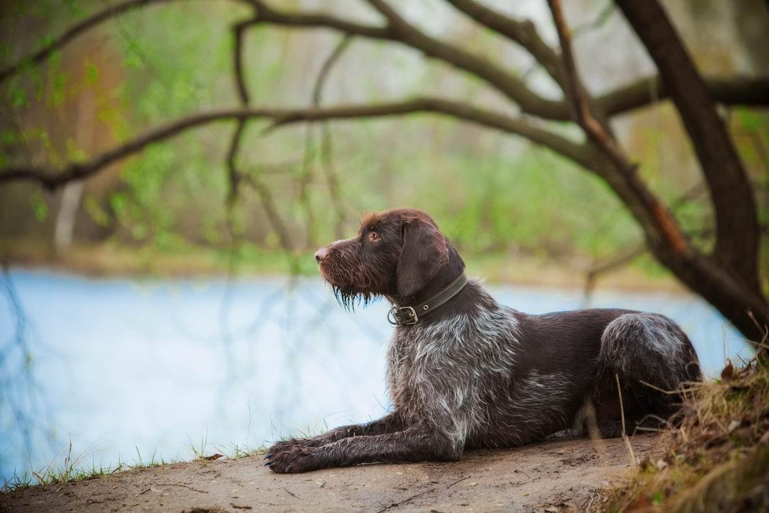 Особенности охоты с дратхааром на водоплавающую дичь