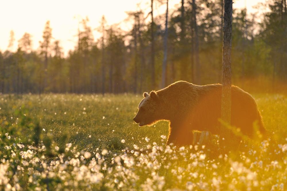 Охота на медведя с подхода