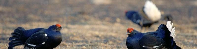 «Весенняя охота на глухаря, тетерева и уток в Удмуртии» — смотреть видео онлайн