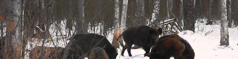 «Охота на кабана на подкормочной площадке» — смотреть видео онлайн