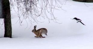 «Охота на зайца зимой» смотреть видео онлайн