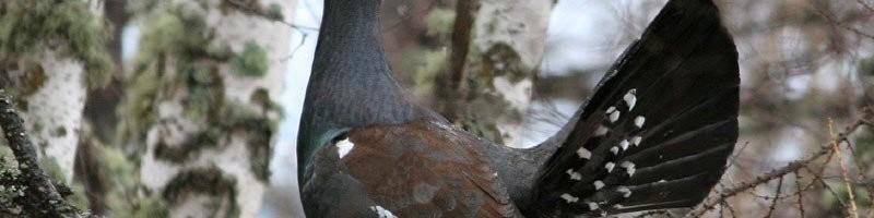 Охота на глухарей на осинах и лиственницах