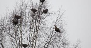 Охота на тетеревов (косачей) с подъезда