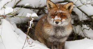 Охота на лис в норах