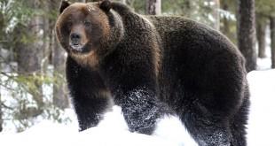 «Охота на медведя шатуна » смотреть видео онлайн