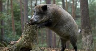 «Охота на кабана в Беларуси» смотреть видео онлайн