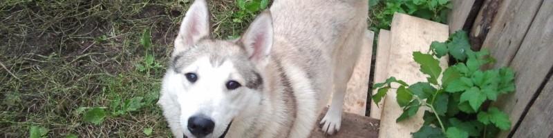 «Охота на лося с Западно Сибирской лайкой» смотреть видео онлайн