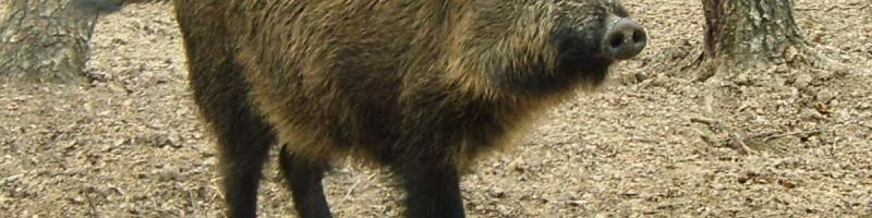 «Охота на кабана с подхода» смотреть видео онлайн