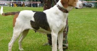 Обзор и описание основных пород гончих собак и особенности их  поведения на охоте