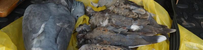 Охота на на вяхиря в Англии смотреть видео онлайн