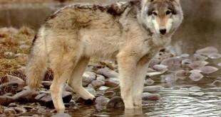 Охота на волка. Смотреть видео охоты на волков онлайн.