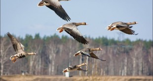 Охота на гусей 2011 (аккерманцы) смотреть видео онлайн