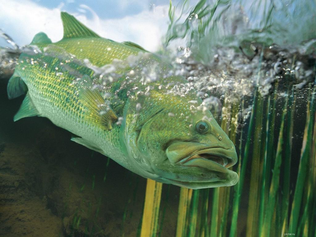 Речная рыба под водой