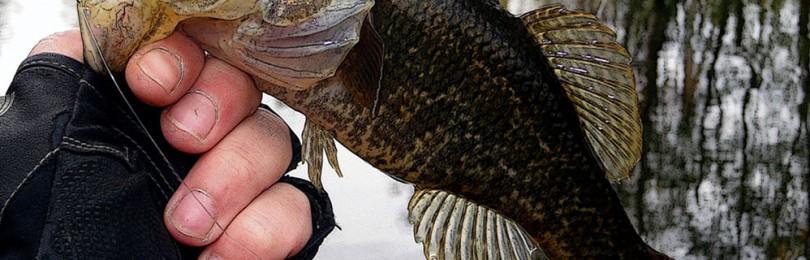 Ротан рыбы: как выглядят, происхождение, родина и способы питания