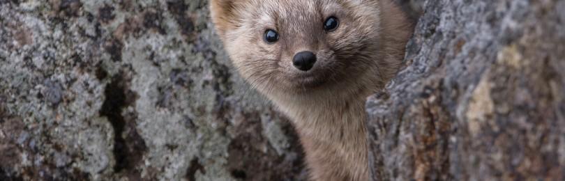 «Охота на соболя с лайками»  смотреть фильм онлайн