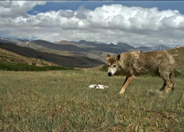Краткое описание красного (гималайского) волка