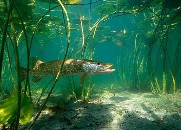 Все о щуках и способах ловли этого самого крупного и желанного рыбацкого трофея