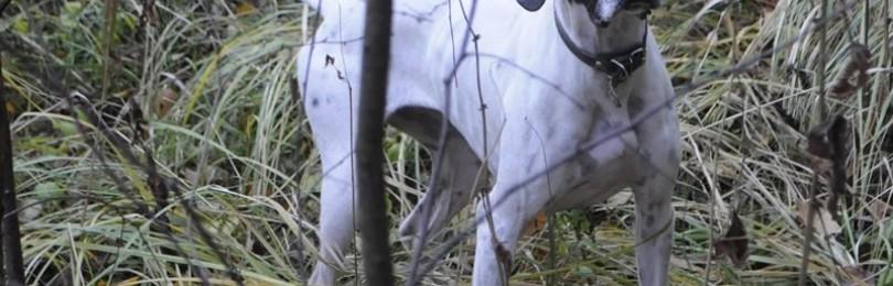 Охота с пойнтером на тетерева