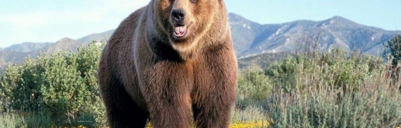 Бурый медведь: описание, образ жизни и среда обитания