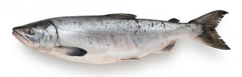 Как выглядит рыба кета, где она водится и какая на вкус