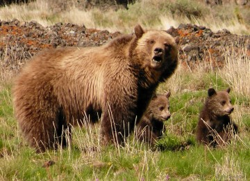 «Охота на медведя на овсах» смотреть видео онлайн
