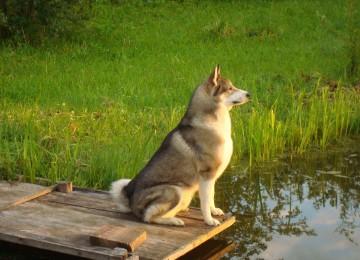 Западносибирская лайка — прекрасная рабочая собака