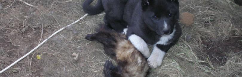 Охота на куницу с собаками (Без выстрела)  смотреть видео онлайн