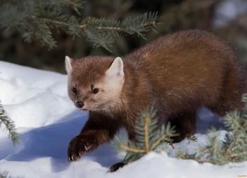 Охота на куницу зимой с собаками смотреть видео онлайн