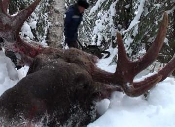 """""""Охота на лося с лайкой на севере России """" – смотреть видео онлайн"""