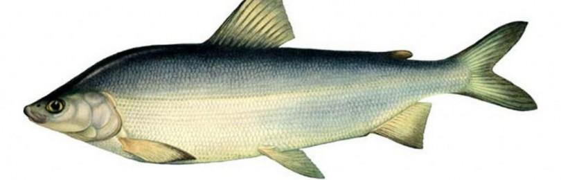 Как выглядит рыба муксун, среда ее обитания, рацион и размножение