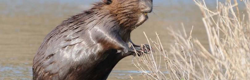 «Ловля бобра капканом» — смотреть видео онлайн