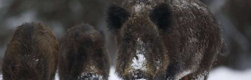 Охота на кабана зимой. Смотреть видео онлайн!
