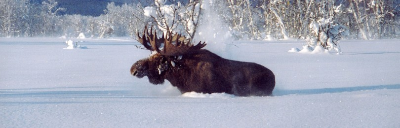 """Охота на лося зимой "" смотреть видео онлайн"