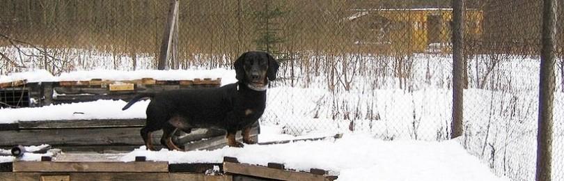 Притравка норных собак – наземная, в естественных и искусственных норах
