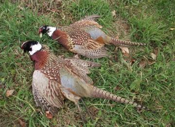 Охота на фазана нагоном в Белоруссии смотреть видео онлайн